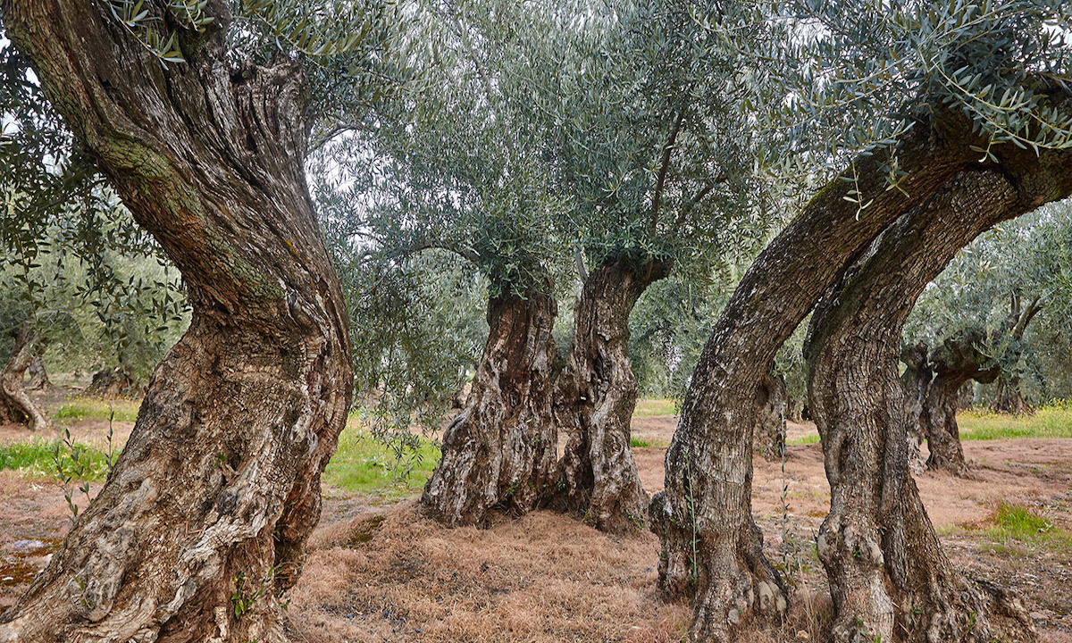 Olive tree fields in Andalus